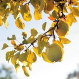 Green Pears in Golden Sunlight royalty free stock photos