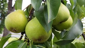 Green pears grow on a branch. Fruit harvest in the home garden stock video footage