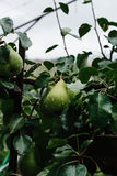 Green Pears and Rain Drops Stock Images