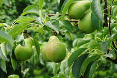Green pears on tree. Closeup of green pears ripening on tree Royalty Free Stock Photos