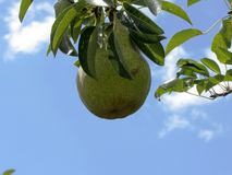 Green pears on tree branches Royalty Free Stock Photography