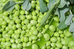 Green peas Stock Images