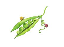 Green peas. Five little peas into their green pod. Hand-made illustration Royalty Free Stock Photos