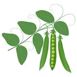 Peas on a branch. Green peas on a branch isolated on white background Royalty Free Stock Images