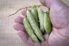 Green peas. Fresh peas in open hand Stock Image