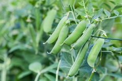 Green peas in the garden Royalty Free Stock Photo