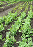Green peas growing in planting bed Stock Image