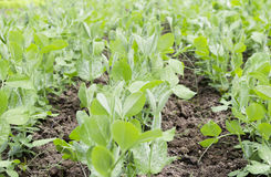 Green peas plants Stock Photo