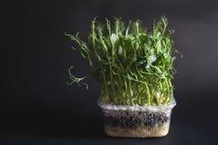Green peas seedlings Royalty Free Stock Photos
