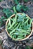 Green peas on a stump Stock Photos