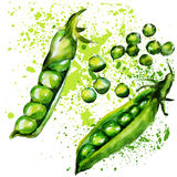 Green peas watercolor Stock Image