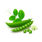 Green peas  on white background. Green pea pods, flower and leaves  on white background. Vector illustration Royalty Free Stock Photo