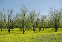 Green Pecan Grove in Spring. A pecan grove or orchard in spring with new growth on the trees and yellow wildflowers carpeting the ground below Stock Images