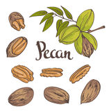 Green Pecan nuts with leaves and dried Pecan nuts isolated on a white background. Vector illustration Royalty Free Stock Photo