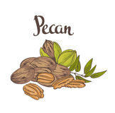 Green Pecan nuts with leaves and dried Pecan nuts isolated on a white background. Vector illustration Royalty Free Stock Photos