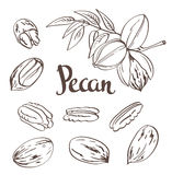 Green Pecan nuts with leaves and dried Pecan nuts isolated on a white background. Royalty Free Stock Images