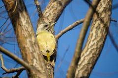 Green pecker. A green pecker on the trunk royalty free stock photos