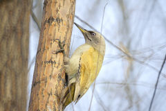 Green pecker Stock Photos