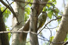 Green pecker. A green pecker on the trunk royalty free stock images