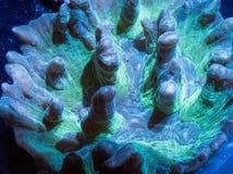 Green pectinia coral. A close up of a green pectinia coral in an aquarium stock images