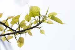 Green Peepal leaves on a white background stock photo