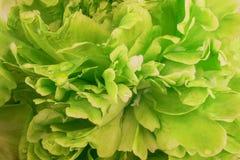 Green peony background Stock Image