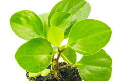Green peperomia isolated on white background. For Royalty Free Stock Photography