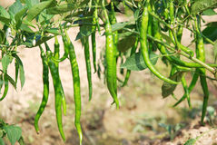 Green pepper. Fields under the sunshine in summer stock images