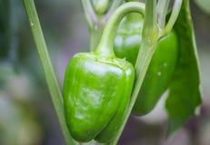 green pepper Arkivfoton