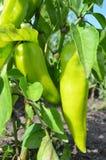 green pepper Fotografering för Bildbyråer