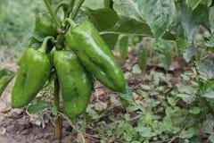 green pepper Arkivbild