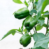 Green pepper on the bush Royalty Free Stock Images