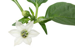 Green pepper flower Stock Photography