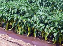 Green pepper plant Stock Image