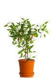 Green pepper plant Royalty Free Stock Image