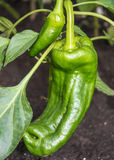 Pepper plant. Green pepper in the plant Stock Photos