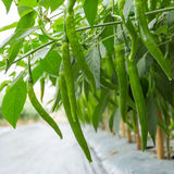 Green pepper on plant Stock Photos