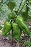 Green pepper. Plant in greenhouse stock photography