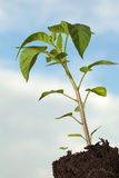 Green pepper plant Royalty Free Stock Photos