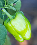 Green pepper plant.Pepper growing outdoors. Royalty Free Stock Photos