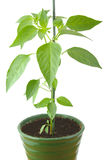 Green pepper plant in a pot isolated on a white Stock Photography