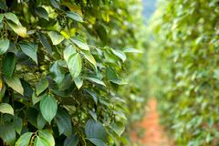 Green pepper plant in Vietnam Stock Photography
