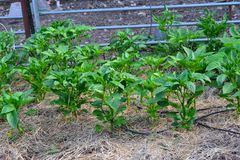 Pepper Plants in the Garden stock photography