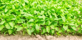 Green pepper seedlings in the greenhouse, ready for transplant in the field, farming, agriculture, vegetables, eco-friendly. Agricultural products, agroindustry Stock Photography