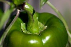 Green Pepper Stem Stock Photo