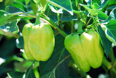 Green pepper tree. Two pepper tree in the garden Stock Image