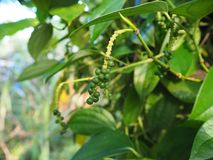 Green pepper on tree. Fresh live green paper on tree Stock Image