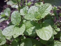 Green peppermint leaves stock photos