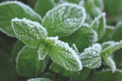 Green peppermint leaves covered with first hoar frost. Closeup view Stock Images