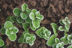 Green peppermint leaves covered with first hoar frost. High angle view Stock Photo